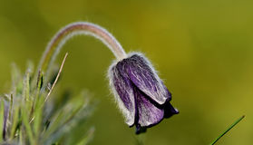 Pulsatilla pratensis in spring Royalty Free Stock Photo