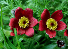 Pulsatilla rouge de Bells vulgaris Photos stock