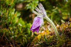 Pulsatilla slavica. Beautiful purple little furry pasque flower. Pulsatilla slavica Royalty Free Stock Photo
