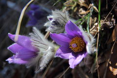 Pulsatilla Royalty Free Stock Images
