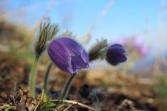 Pulsatilla. In Slovak Paradise National park, Slovakia Royalty Free Stock Image