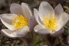 Pulsatilla Vernalis - de Lente Pasqueflower Stock Foto