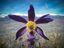 Pulsatilla vernalis (Frühling pasqueflower, arktisches Veilchen, Dame des Schnees) Lizenzfreie Stockfotos