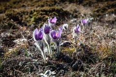 Pulsatilla vernalis in spring royalty free stock image