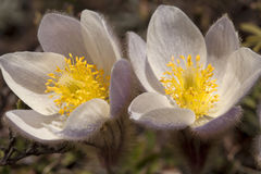 Pulsatilla Vernalis - Spring Pasqueflower Stock Photo