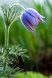 Pulsatilla violet Photo libre de droits