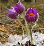 Pulsatilla vulgaris Royalty Free Stock Images