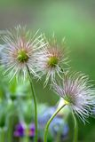 (Pulsatilla vulgaris) Royalty Free Stock Photos