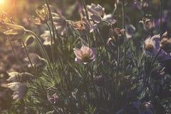 Заход солнца или восход солнца Pulsatilla Vulgaris Стоковое Изображение