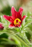 Pulsatilla vulgaris Stock Photos