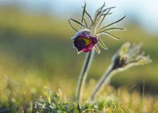 Pulsatilla vulgaris blooms in the steppe meadow stock photos