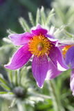 Pulsatilla vulgaris Stock Photo