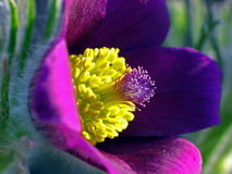 Pulsatilla vulgaris/fleur de Pasque image libre de droits