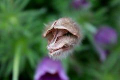 Pulsatilla vulgaris lub Pasqueflower zamykaliśmy kwiatu patrzeje jak zwierzęca twarz Obraz Stock