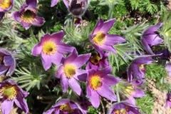Free Pulsatilla Vulgaris Or Pasqueflower Blooming In Garden Royalty Free Stock Images - 116396079