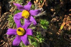 Pulsatilla Vulgaris, Pasque kwiat zdjęcia stock