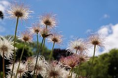 Pulsatilla vulgaris plant in new Zealand. Pulsatilla vulgaris plant in the mountains of New Zealand Stock Image