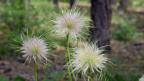 Pulsatilla vulgaris  seedhead. stock video