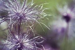 Pulsatilla vulgaris seedhead. Pulsatilla vulgaris (pasque flower, pasqueflower) seedhead in garden Royalty Free Stock Photography