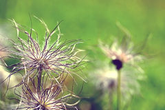 Pulsatilla vulgaris seedhead Stock Photos