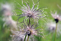 Pulsatilla vulgaris seedhead Stock Photography