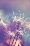 Pulsatilla vulgaris seedhead. Pulsatilla vulgaris (pasque flower, pasqueflower) seedhead in garden. Toned with color filters Stock Photos