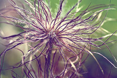 Pulsatilla vulgaris seedhead Royalty Free Stock Photography