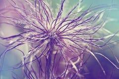 Pulsatilla vulgaris seedhead. Pulsatilla vulgaris (pasque flower, pasqueflower) seedhead in garden. Toned with color filters Royalty Free Stock Photography