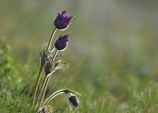 Pulsatilla vulgaris is steppe flowers stock images