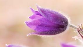 Pulsatilla Vulgaris. Violet Pasqueflower (Pulsatilla vulgaris), shot on an early spring evening in nothern Bavaria 2013 Royalty Free Stock Photos