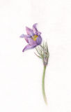 Pulsatilla watercolor painting Royalty Free Stock Photography