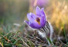 Pulsatillagrandis som blommar p? v?r?ng royaltyfria bilder