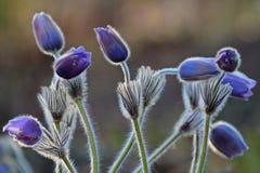 Pulsatillapatens som djupt blommar i finlandssvensk skog royaltyfri bild