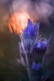 Pulsatillas с солнечным лучом Стоковое Фото