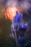 Pulsatillas z sunbeam Zdjęcie Stock