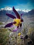 Pulsatillavernalis (de lente pasqueflower, noordpoolviooltje, dame van de sneeuw) Royalty-vrije Stock Foto's