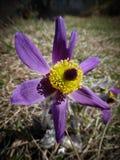 Pulsatillavernalis (vårpasqueflower, arktisk violet, damen av snöarna) Royaltyfri Bild