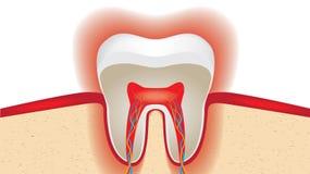 Pulsation d'émail des dents sensible Images libres de droits