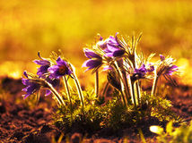 Pulsatіlla pаtens, dream-grass, Royalty Free Stock Photography