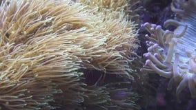Pulserend zacht koraal stock footage