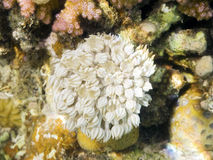 Free Pulsing Xenia In Tropical Reef Of Red Sea Royalty Free Stock Photography - 10721717