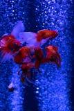 Pulule los pescados rojos del oro en fondo del azul de las burbujas de aire Foto de archivo libre de regalías