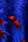 Pulule los pescados rojos del oro en fondo del azul de las burbujas de aire Fotografía de archivo libre de regalías