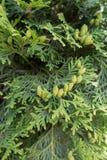 Pulvérisateurs plats avec les feuilles écallieuses des occidentalis de Thuja Image stock