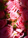 Pulver-rosa Rosen Lizenzfreie Stockfotografie