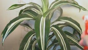 Pulverização das folhas da planta do dracaena filme