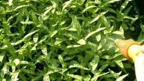 pulverização das folhas da planta em casa filme