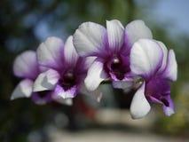 Pulverizador branco e roxo da flor da orquídea de Thail Imagens de Stock
