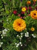 Pulverizador dos cravos-de-defunto no jardim inglês do país foto de stock