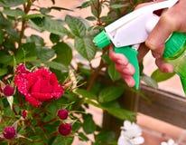 Pulverizador verde sobre a flor vermelha fotos de stock royalty free